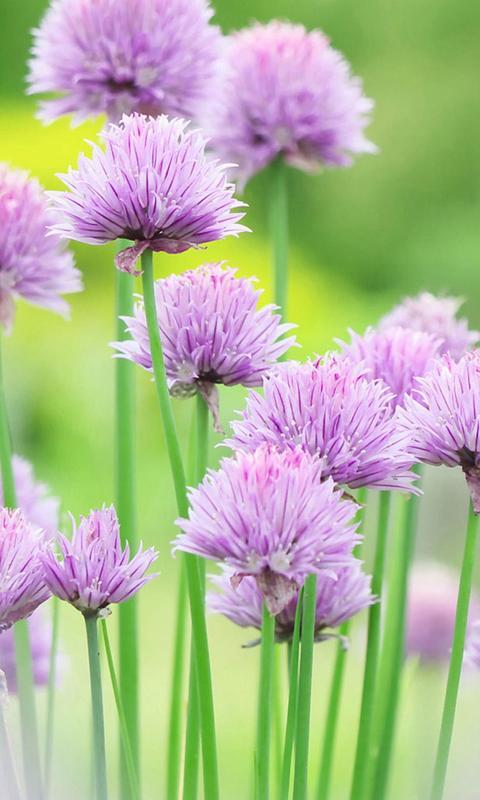 植物 花朵 清新 自然 iPhone6 iphone6 iPhone6Plus 绿色手机壁纸