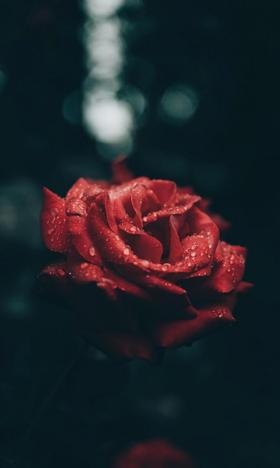 鲜艳迷人的玫瑰