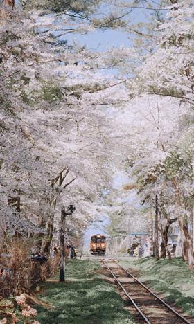 樱花清新浪漫铁轨风景高清手机壁纸