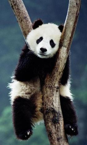 树上的熊猫手机壁纸大图