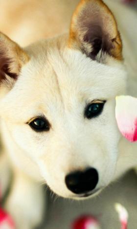 高清可爱狗狗闻花香高清壁纸
