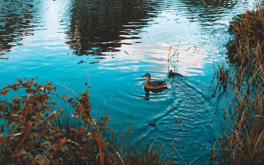 可爱鸭子高清图片壁纸