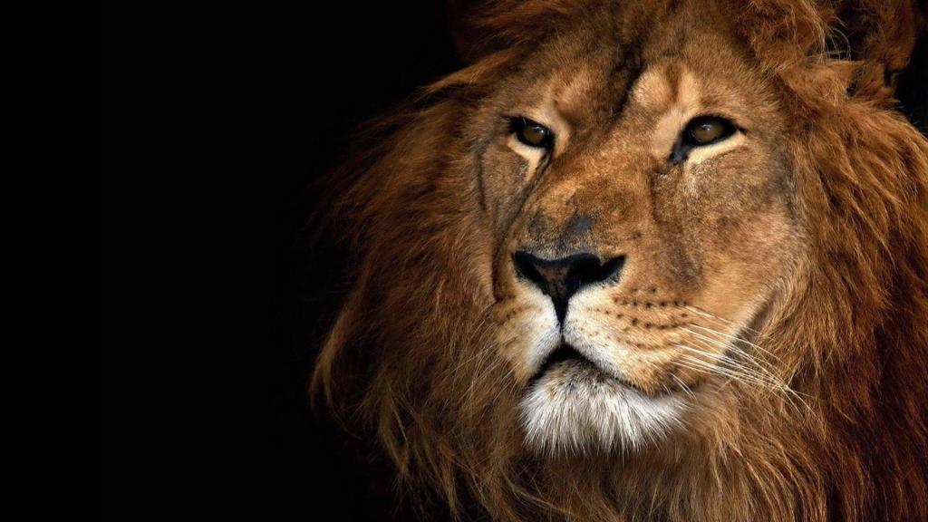 高清狮子图片壁纸背景下载