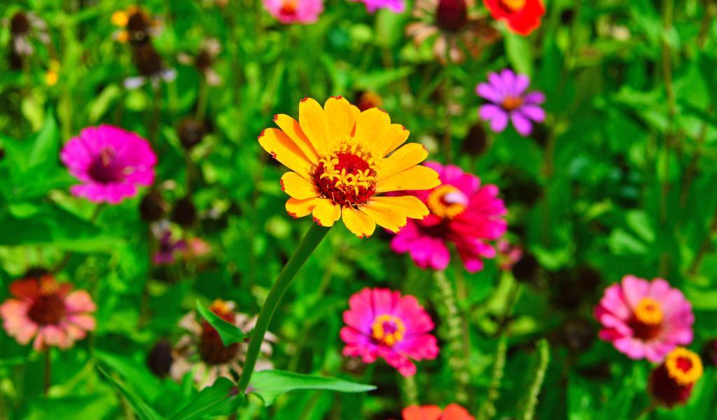 色彩缤纷的野生雏菊花图片