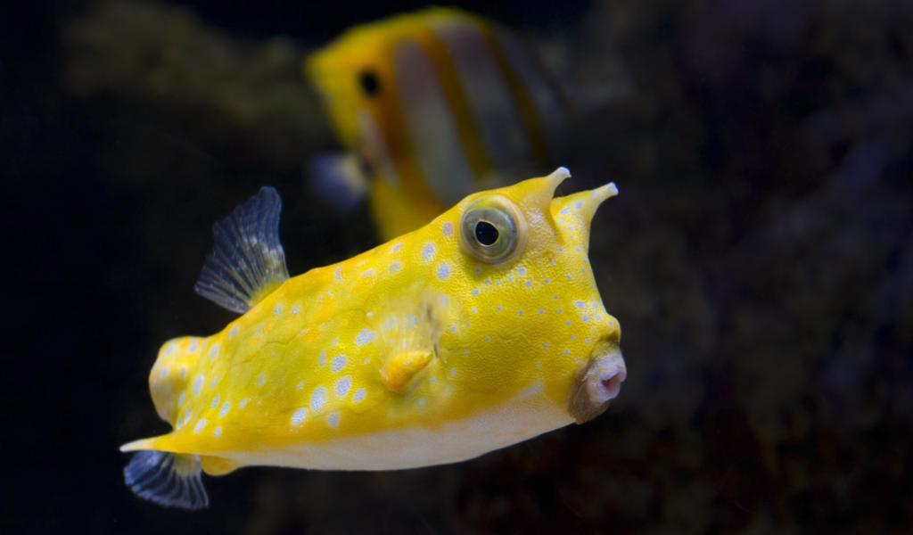 高清海底水下黄色的斑点鱼可爱的嘴鱼的摄影图片电脑壁纸图片下载