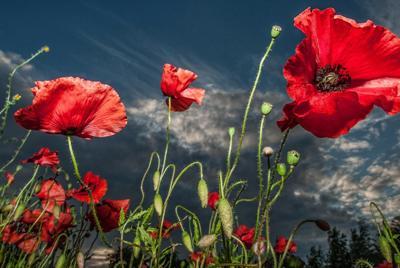 罂粟花唯美意境壁纸图片