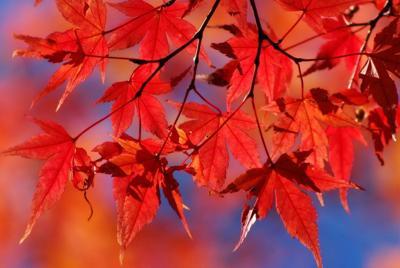 火红的高清枫叶桌面壁纸