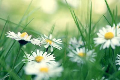 绿草地中的小清新花朵桌面壁纸