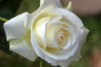 白玫瑰花语图片高清壁纸下载