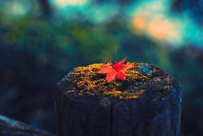 精美树桩上的红色落叶背景图