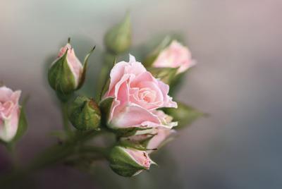 精美粉红色玫瑰花电脑壁纸图片