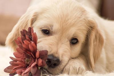 精美小狗和鲜花桌面背景下载