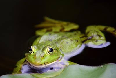 绿色的小青蛙池塘桌面背景下载