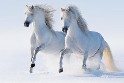 马骏马两只白马跑步步行雪冬天电脑壁纸大图