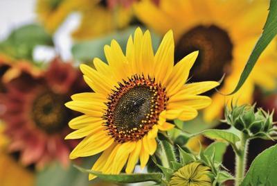 高清向日葵花壁纸图片