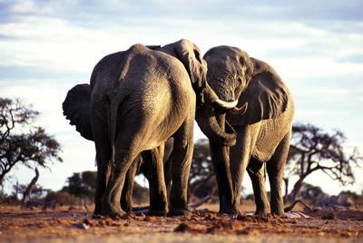 非洲大象写真壁纸