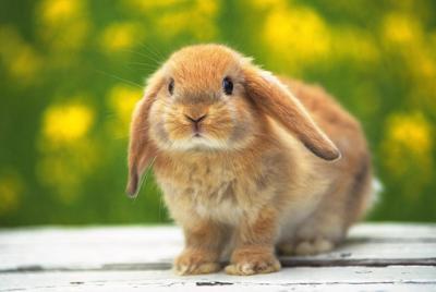 可爱的小兔子高清壁纸图片